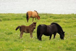 Icelandic_horses_with_foal
